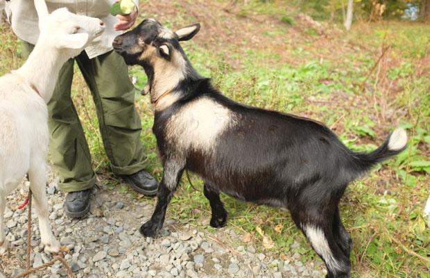 ウルとアナンダ。道内でヤギを飼育している人たちから譲り受けた。