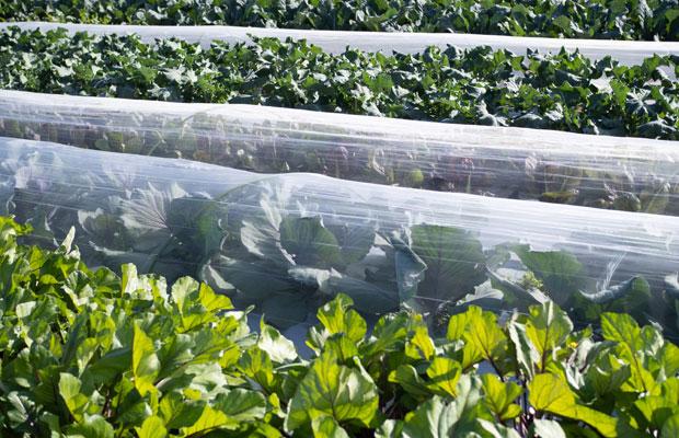 ブロッコリーやカリフラワー、キャベツ、ナバナなど畑には冬野菜の葉っぱがワサワサ。
