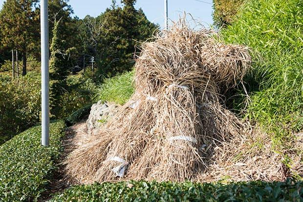 束ねられ、積み重ねられた枯れ草はかなりの高さに。