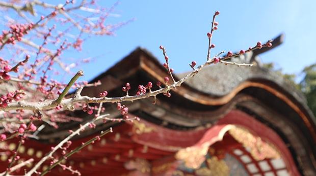 これから梅の見頃がピークを迎える太宰府天満宮