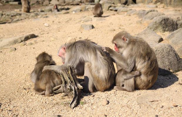 野生の猿たちがいる〈銚子渓自然動物園 お猿の国〉。柵はなくて、目の前で猿たちが歩いてます。