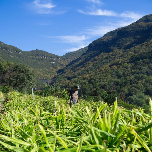 〈HOMEMAKERS〉の生姜畑の奥にあるのが銚子渓。島の中にある畑とは思えない風景。