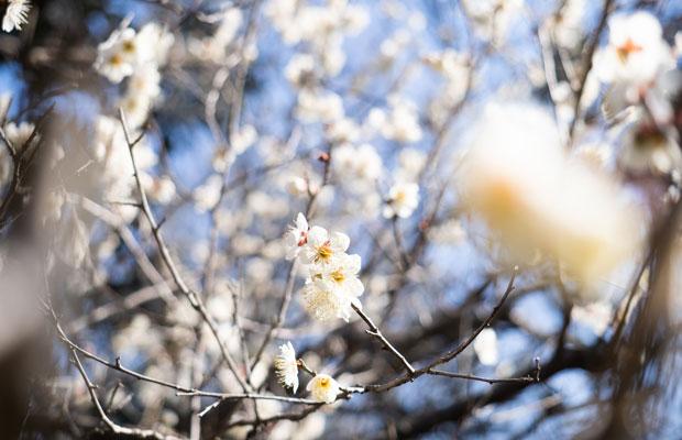 畑の脇では梅の花がきれいに咲いてます。もうすぐ春~。毎年この時期は肥土山農村歌舞伎の練習が始まり忙しくなる頃。