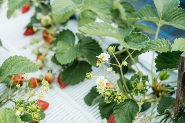 ミツバチが飛び交うハウス内。イチゴは本来初夏の作物なので、ビニールハウスで冬から春にかけて栽培と収穫をするには、繊細かつ正確な作業が重要となる。