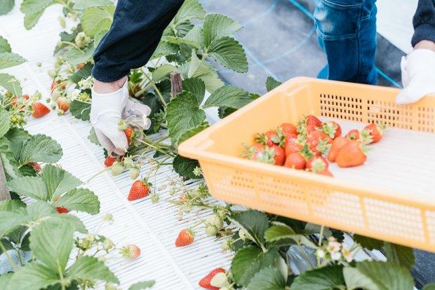 イチゴの収穫は、毎日歩さんとふたりで早朝から行っている。病気はもちろん、育ちすぎも良くない。健全に育てることを意識しているという。