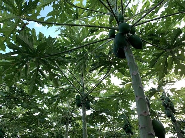 パパイアの木の様子。30cmほどの苗を植えてから、収穫までは約4ヶ月。木は2~3メートルほど成長します。