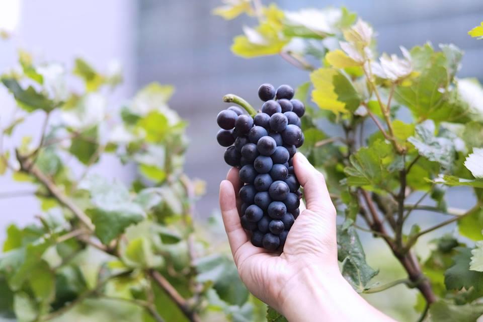 赤ワイン用ブドウ品種、ピノ・ノワール