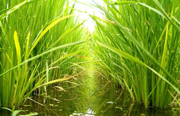 移住して始めたかったことのひとつが米づくり。津留崎家は下田に移住して1年目から無農薬の米づくりにチャレンジしていますが、思った以上に雑草の処理が大変……。(2018年10月)