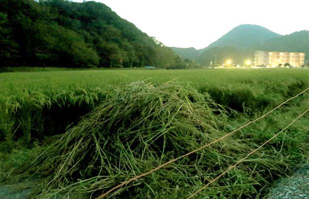 山積みになっているのが「ヒエ」という、稲によく似た雑草。すぐに大きくなってしまうのでとても厄介。