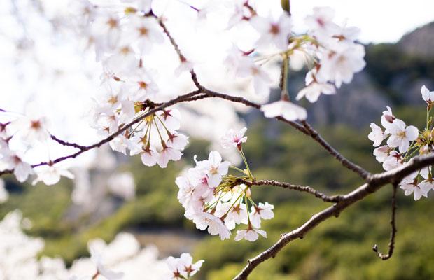 小豆島の桜は自然のなかにある。桜と山。桜と海。そんな景色を眺めながら歩くのが楽しい。