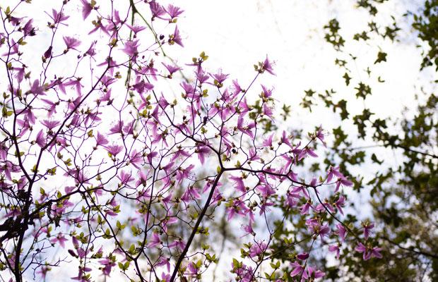 山の中でひっそりと咲いてる花がきれいなんです。これはヤマツツジ。