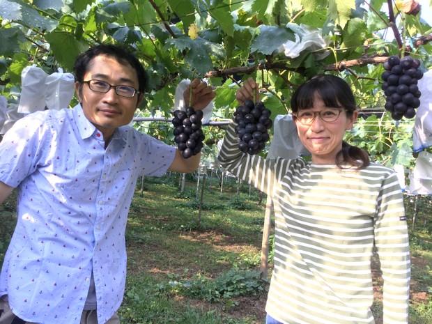 ぶどう狩りシーズンのきときと果樹園。つやのある大きな粒が房になっている光景は、田中さん夫妻にとって1年間の作業が報われるものでもある。(写真提供:きときと果樹園)
