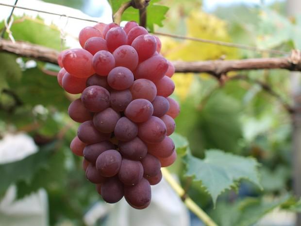きときと果樹園で栽培されているぶどう、サニールージュ。ルビーのような赤い実と、強い甘みが特徴。実と皮がするっと離れるので、子どもでも食べやすい。(写真提供:きときと果樹園)
