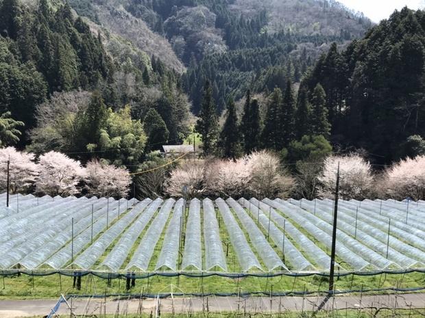 桜が咲く時期のきときと果樹園。1.2ヘクタールのぶどう園のすぐ後ろに山がある、のどかな土地だ。(写真提供:きときと果樹園)