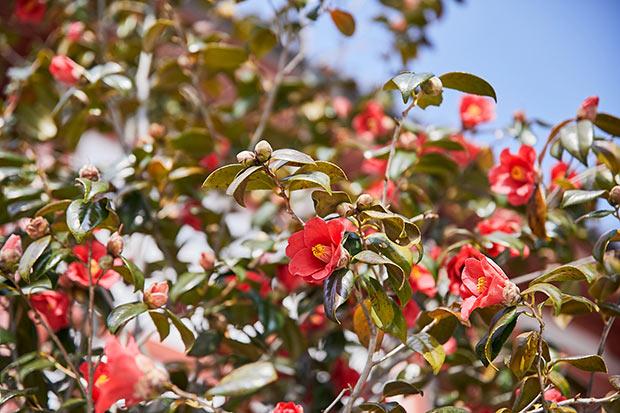 3月。道後を歩けば、松山市の花、椿が咲いているのが見られる。旅館やレストランなど、モチーフに椿を使っているところも多い。