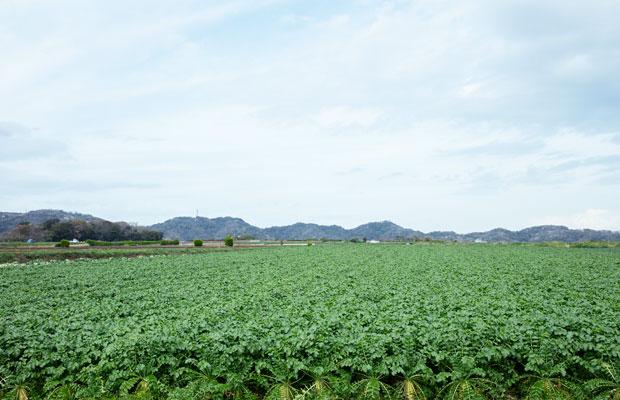 見渡す限り、青首大根が植えられた〈赤門農園〉の畑。三浦らしい光景だ。
