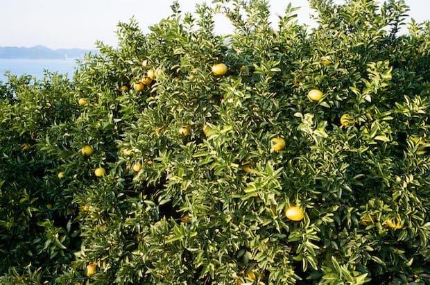瀬戸田のレモン谷の風景。Photo Max Houtzager