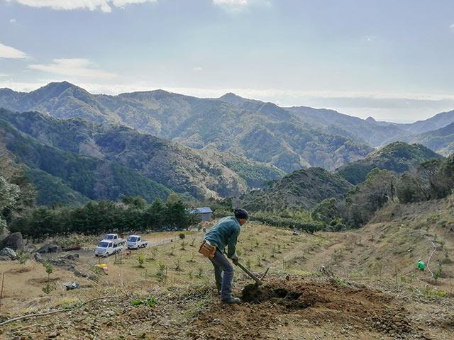 レモンの木を植栽するため地面を耕す
