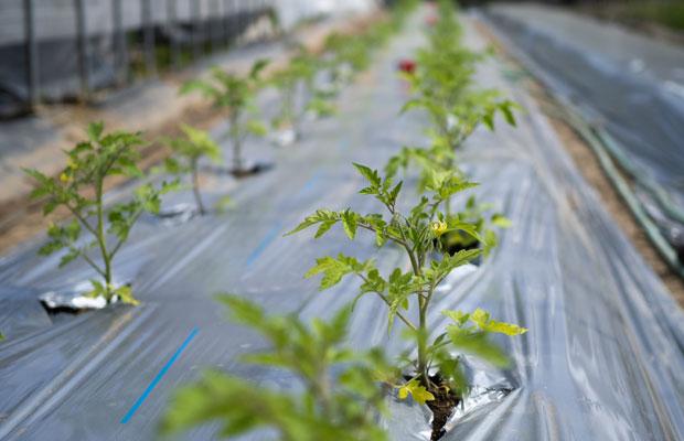 トマトの苗を定植。まだまだ定植待ちの夏野菜がいっぱい。