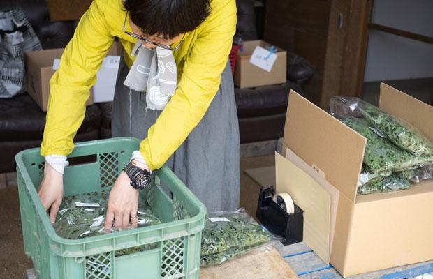 ケールミックスの袋詰め。ケールは乾燥に弱くすぐにしなっとなってしまうので、急いで作業。