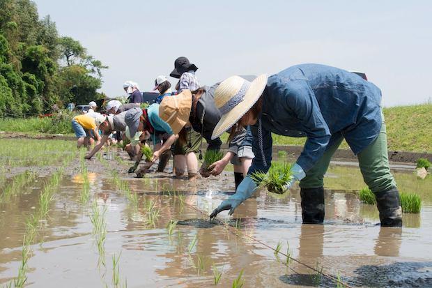 もち米の田植えの様子。機械に頼らず、手作業にこだわります。(撮影:徳田崇史)