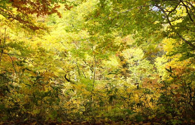 島牧はブナ林の北限。私が訪ねた秋は葉が色づき、キラキラと輝いて見えた。