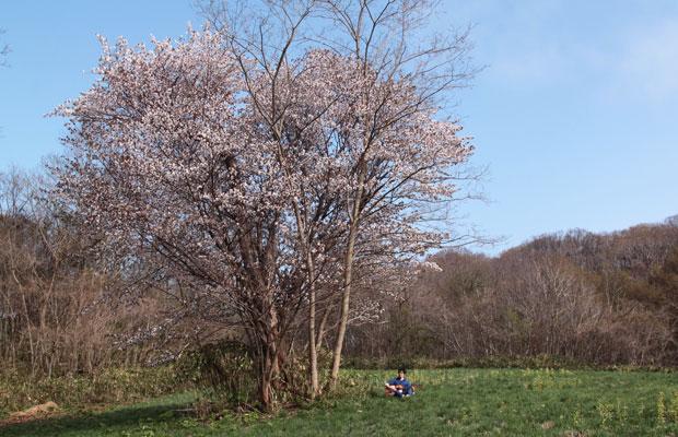 吉澤さんが撮影した写真より。エゾヤマザクラが開花。