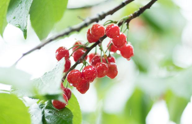 毎年小さな真っ赤な実をつける庭のサクランボ。これも5月の風景。