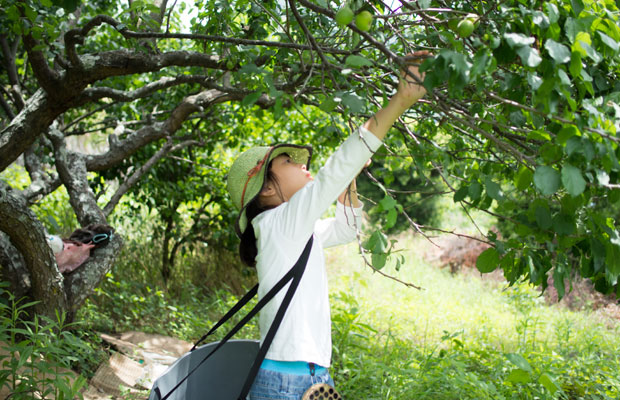 幼稚園時代の娘。一緒に梅の収穫をしました。