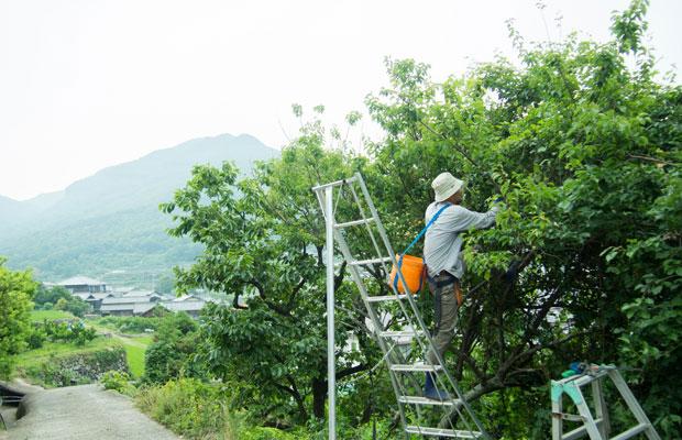 6月に入ってから梅の収穫が始まります。