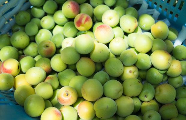 まだ少し緑色の梅。梅干しをつくるときは、収穫後に追熟させます。