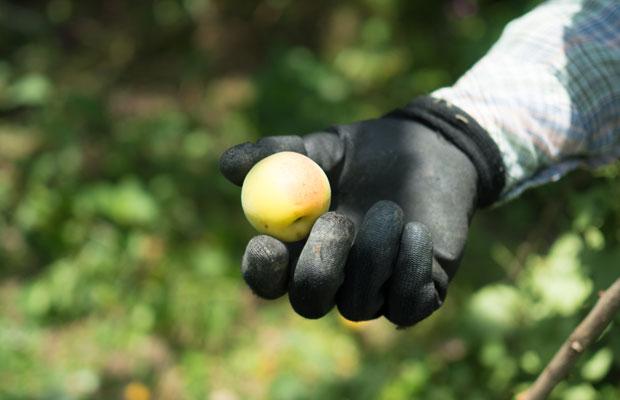梅ひと粒ひと粒を手で摘みます。