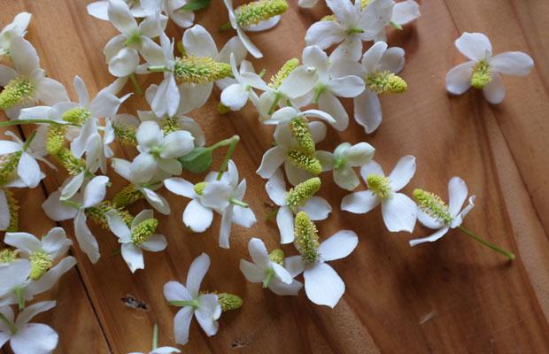 ドクダミの花を摘んで、それをホワイトリカーにつけるとチンキになる。