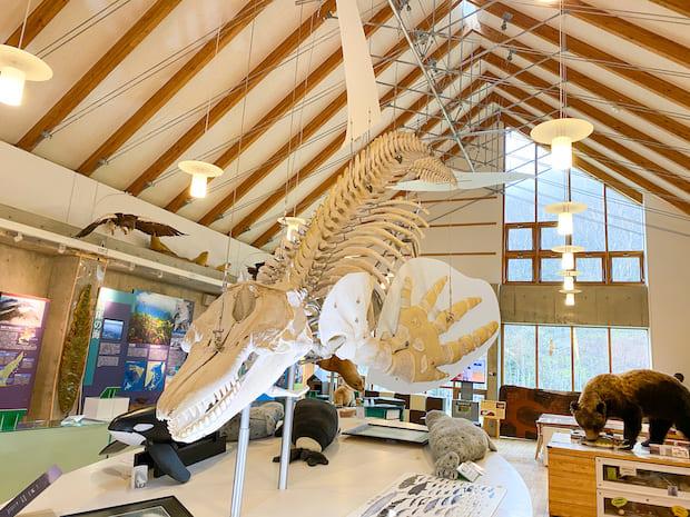 約7.7メートルのシャチの骨格標本。