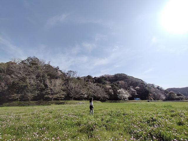 れんげの花が咲き誇る田んぼ