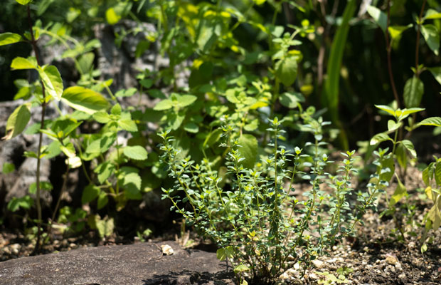 小さな丸い葉がかわいいタイムは冬の間はほとんど枯れてしまいますが、春になるとまた新しい芽が出てきます。
