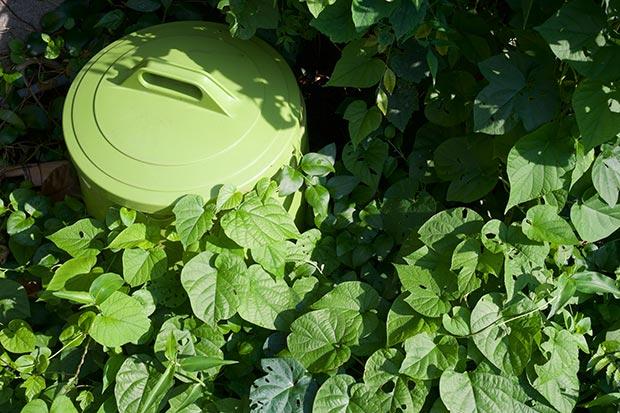 植物にまで絡みつくアサガオの画像