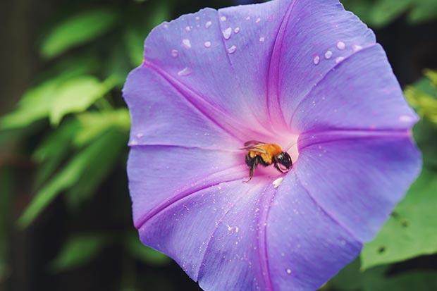 紫の花を咲かせたノアサガオの画像
