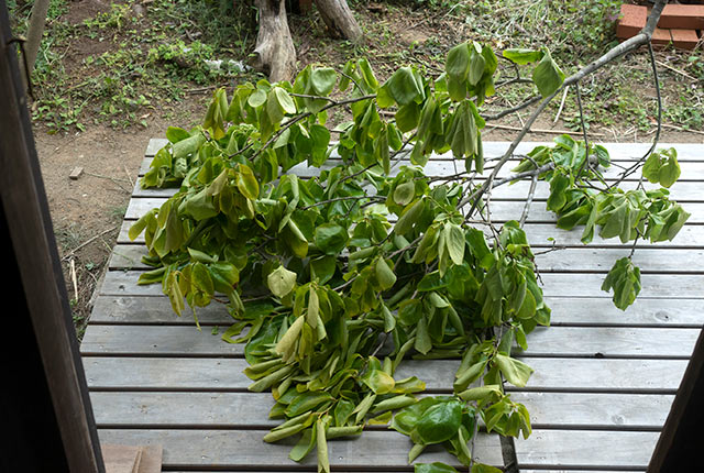 伐採した柿の木の枝