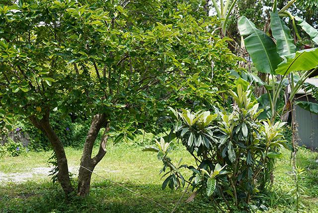 庭にある枇杷の木
