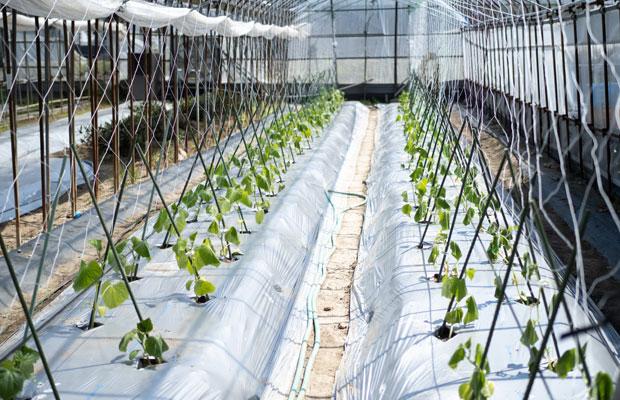 5月末、キュウリの苗を約100株植えました。