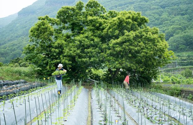 5月上旬、植えたばかりのナス、ピーマンの苗たち。