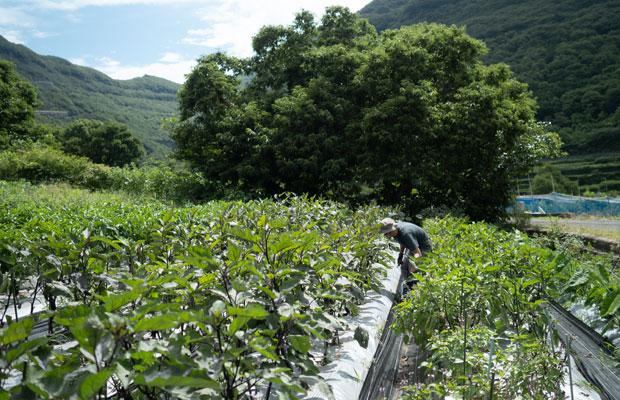 7月上旬、収穫が始まったナス、ピーマン。畑の景色は日々変わってます。