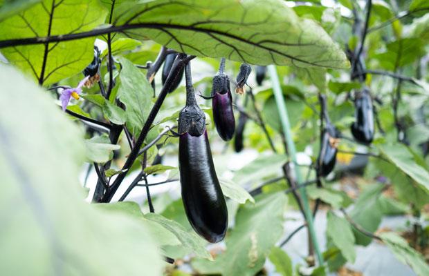 定番の真黒ナス。このほかに、長ナス、越前水ナス、緑ナス、紫宝ナスなど色や形、食感の違う5種類のナスを育てています。