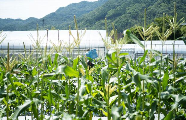 トウモロコシは少しずつタイミングをずらして5回栽培。ずらして栽培することで6月中旬から7月下旬にかけて順次収穫が続きます。