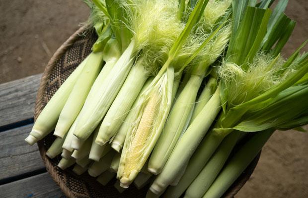 摘果した大きくなる前のヤングコーン。柔らかいので芯まで丸ごと食べられます。季節限定の楽しみ! 人気の野菜のひとつです。