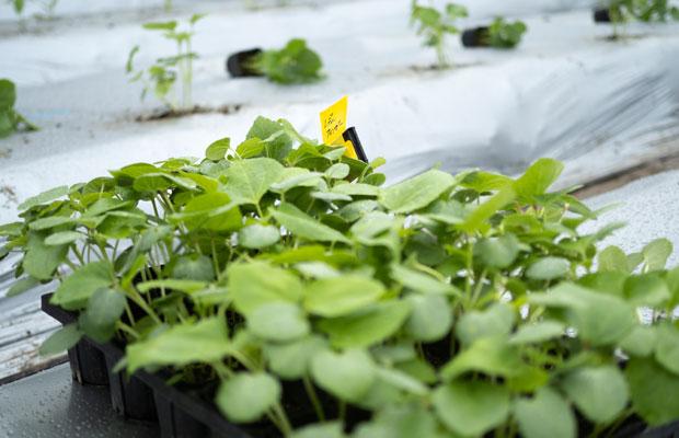 どんどん大きくなっていくオクラの苗。畑に植えるタイミングを逃さないようにとよく焦ってます。
