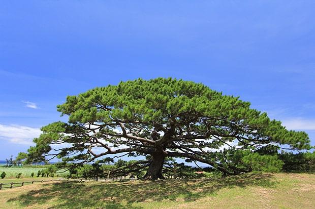 伊平屋島のシンボル、リュウキュウマツの念頭平松は樹齢約300年を誇る。