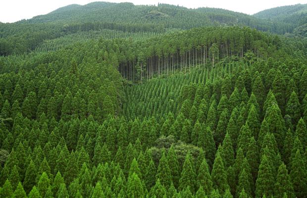 美しい飫肥杉林。