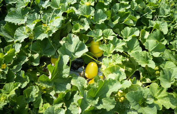 畑一面のマクワウリの葉。よーく見てみるとたくさん実がなってます。